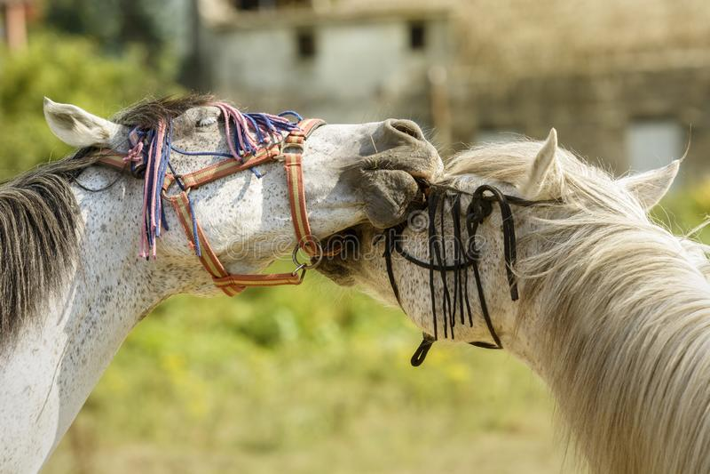Dois cavalos que jogam com seus freios foto de stock
