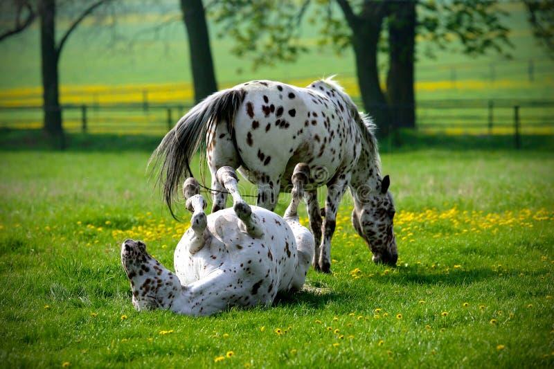 Dois cavalos que jogam em um esclarecimento imagens de stock