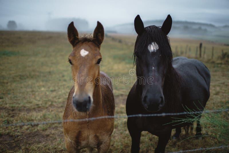 Dois cavalos que olham a câmera na paisagem nevoenta foto de stock