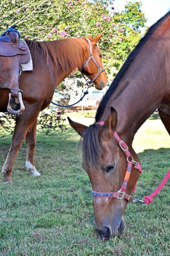 Dois cavalos que pastam fotografia de stock
