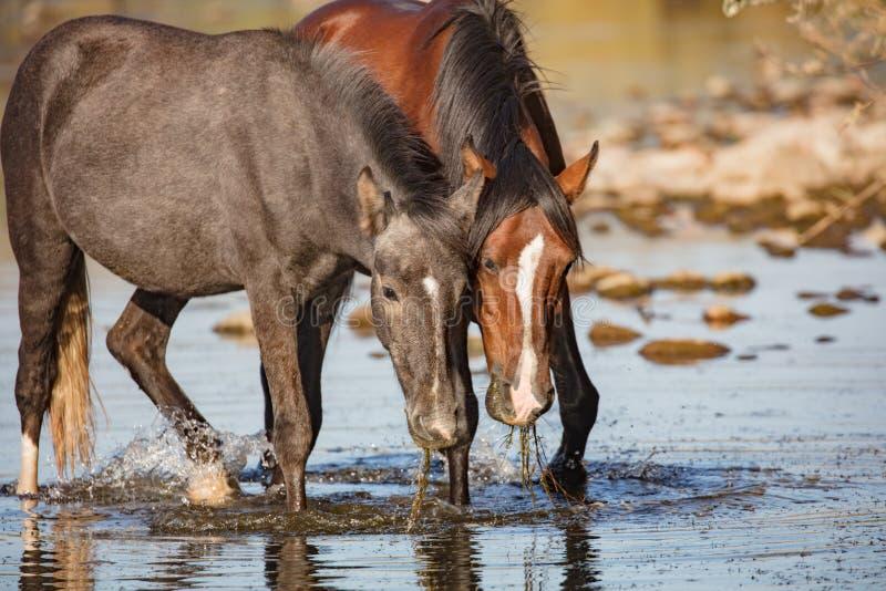 Dois cavalos selvagens que comem a grama da enguia fotos de stock royalty free