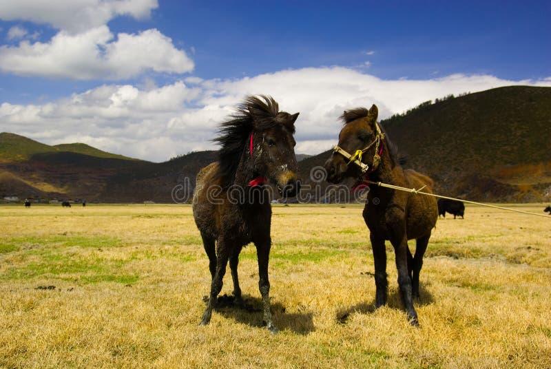 Dois cavalos tibetanos fotos de stock royalty free