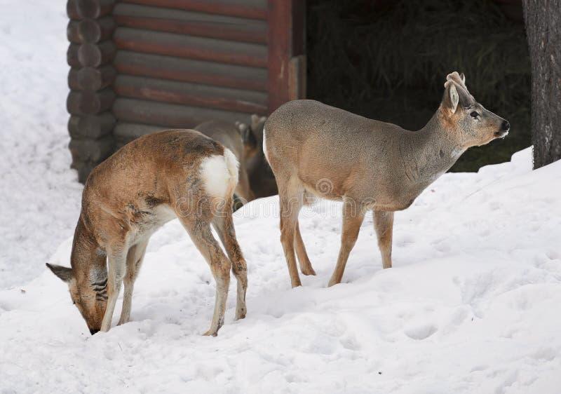 Dois cervos de OVAS Siberian na neve foto de stock
