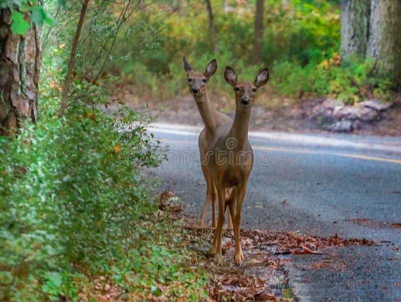 Dois cervos dirigidos foto de stock royalty free