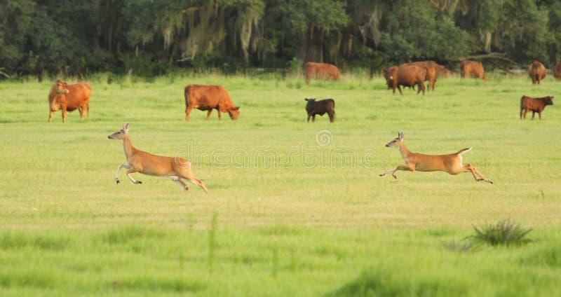 Dois cervos que limitam através de um pasto da vaca fotos de stock royalty free