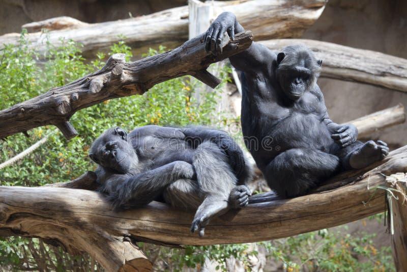 Dois chimpanzés fotografia de stock royalty free