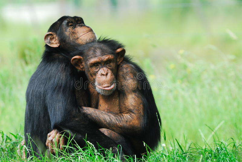 Dois chimpanzés bonitos imagens de stock
