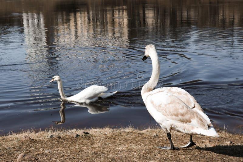 Dois cisnes na primavera imagem de stock