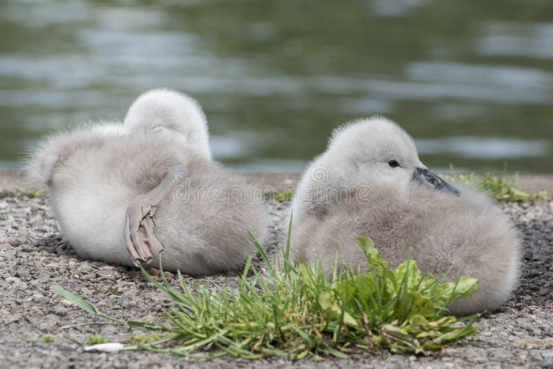 Dois cisnes novos na terra comum de Southampton imagem de stock royalty free