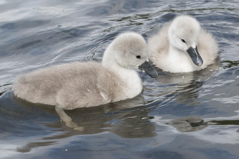 Dois cisnes novos na terra comum de Southampton imagens de stock royalty free