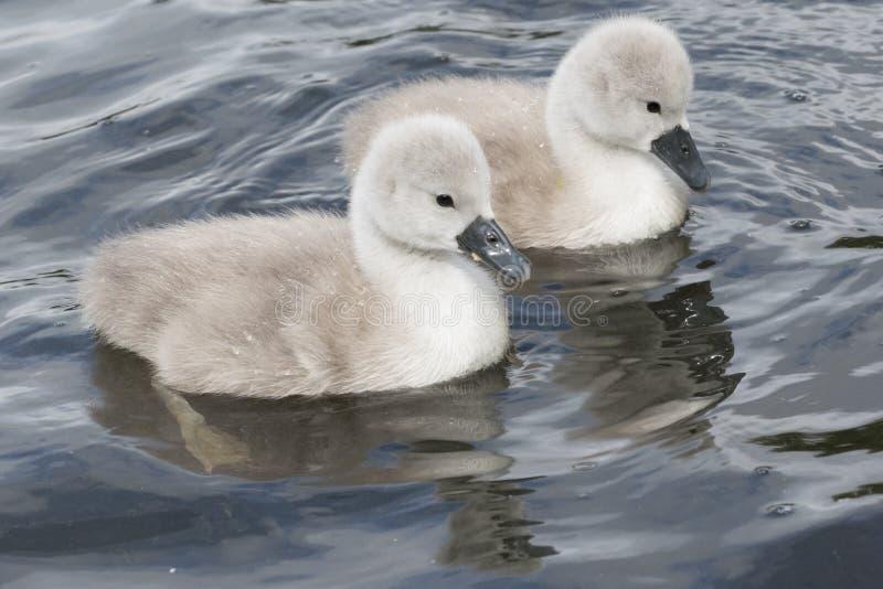 Dois cisnes novos na terra comum de Southampton imagem de stock