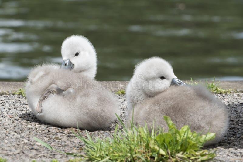 Dois cisnes novos na terra comum de Southampton foto de stock royalty free