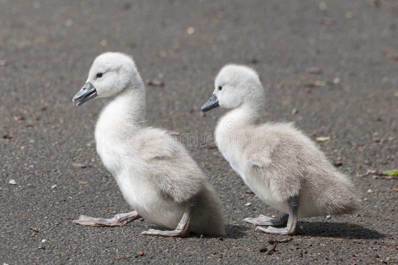 Dois cisnes novos na terra comum de Southampton fotos de stock royalty free