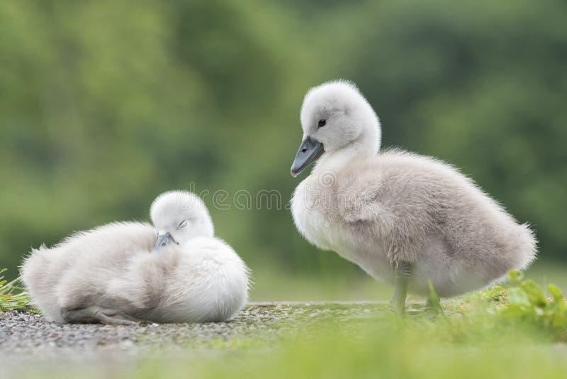 Dois cisnes novos na terra comum de Southampton fotos de stock