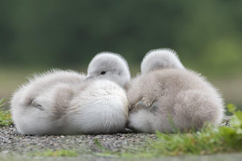 Dois cisnes novos na terra comum de Southampton foto de stock