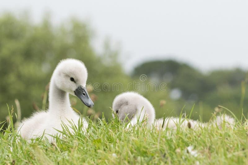 Dois cisnes novos na terra comum de Southampton fotografia de stock royalty free