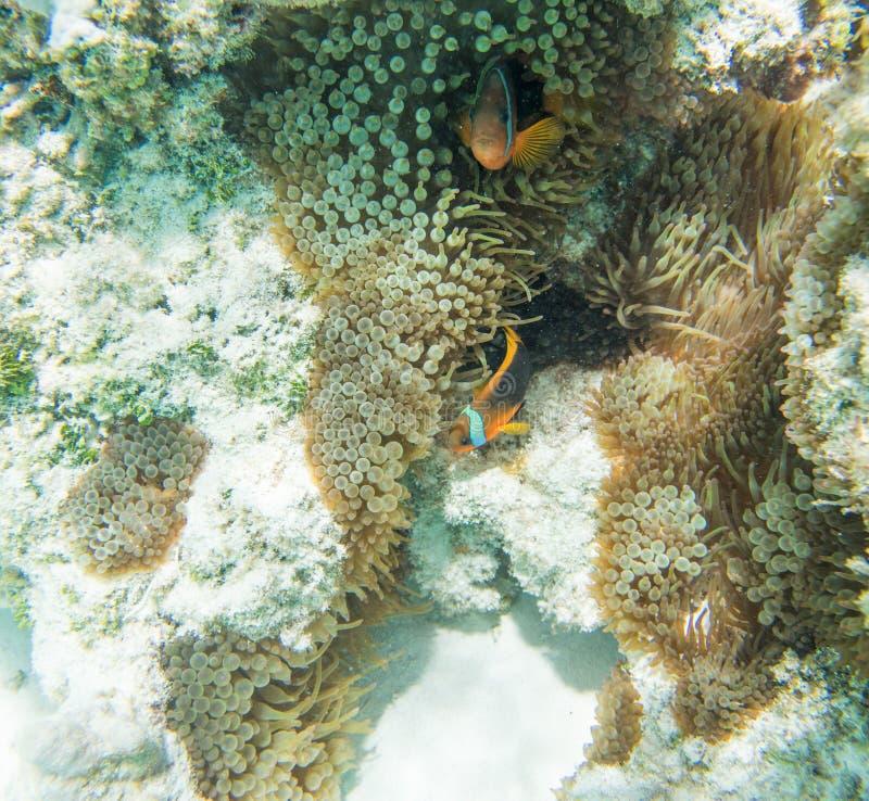 Dois Clownfish na anêmona do recife fotografia de stock royalty free