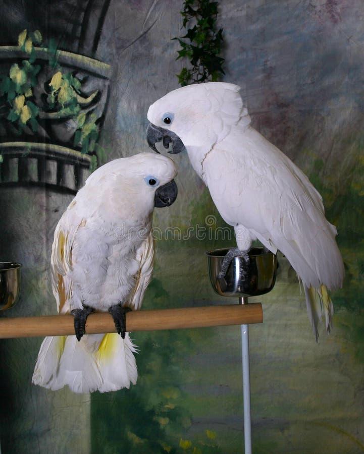 Dois Cockatoos do guarda-chuva foto de stock