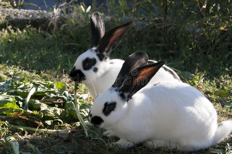 Dois coelhos imagens de stock
