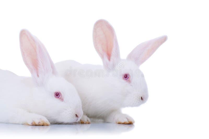 Dois coelhos brancos adoráveis. fotos de stock