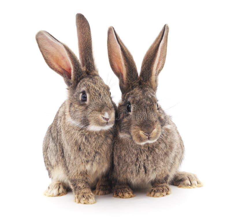 Dois coelhos cinzentos imagem de stock