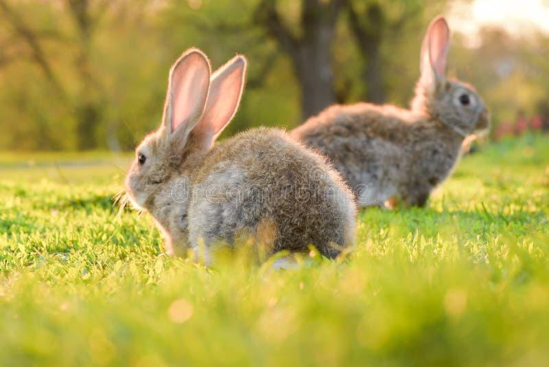 Dois coelhos cinzentos em um gramado verde da luz do sol imagem de stock royalty free