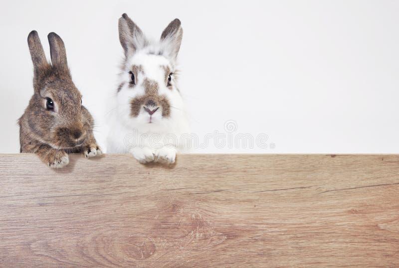 Dois coelhos copiam o espaço fotografia de stock royalty free