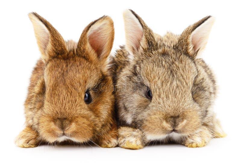 Dois coelhos de coelho fotografia de stock royalty free