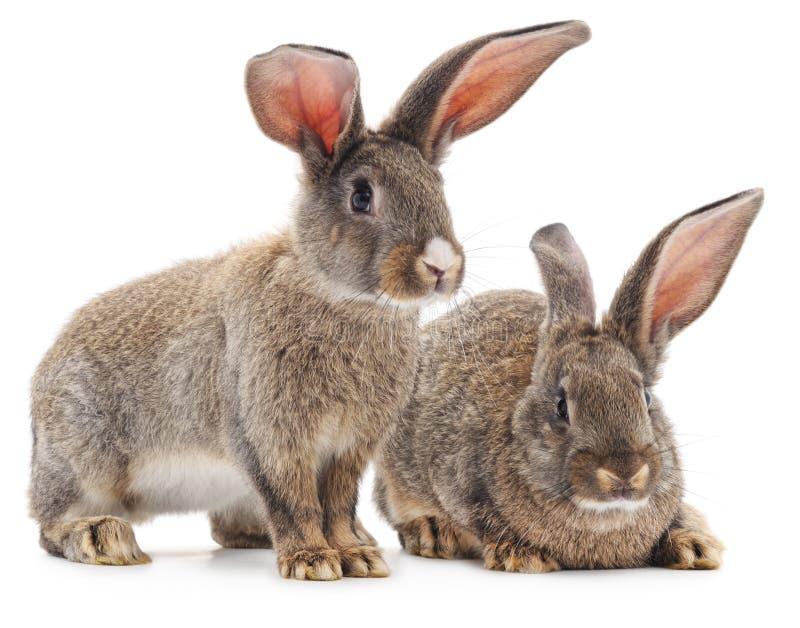Dois coelhos marrons foto de stock