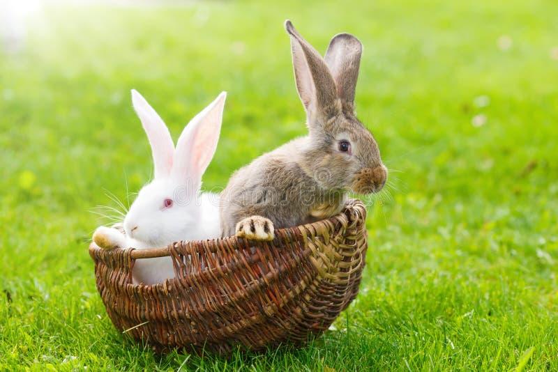 Dois coelhos na cesta de vime imagem de stock