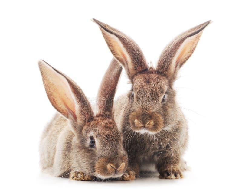 Dois coelhos pequenos foto de stock