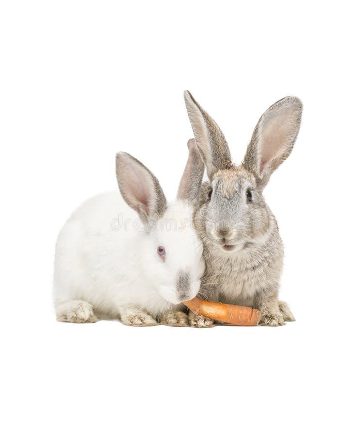 Dois coelhos que comem uma cenoura fotografia de stock royalty free