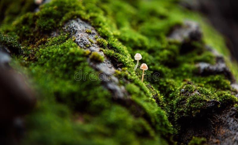 Dois cogumelos minúsculos com uma gota fotografia de stock