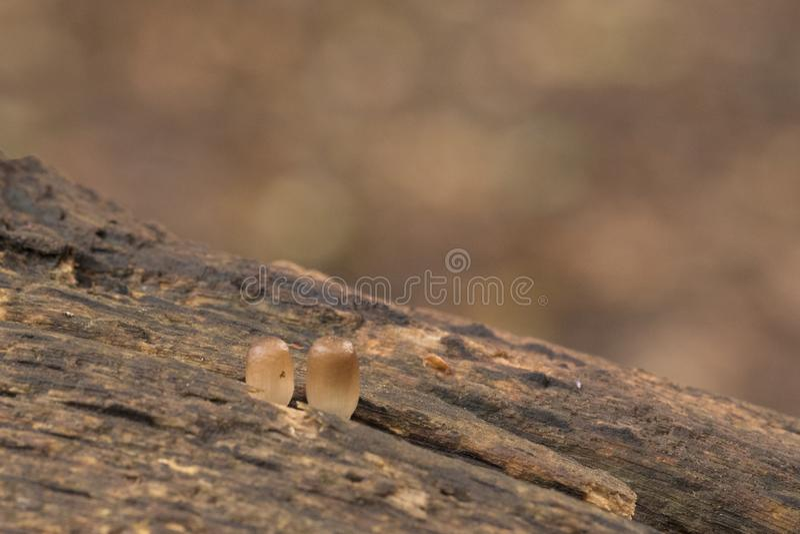 Dois cogumelos minúsculos que olham para fora de um log foto de stock royalty free