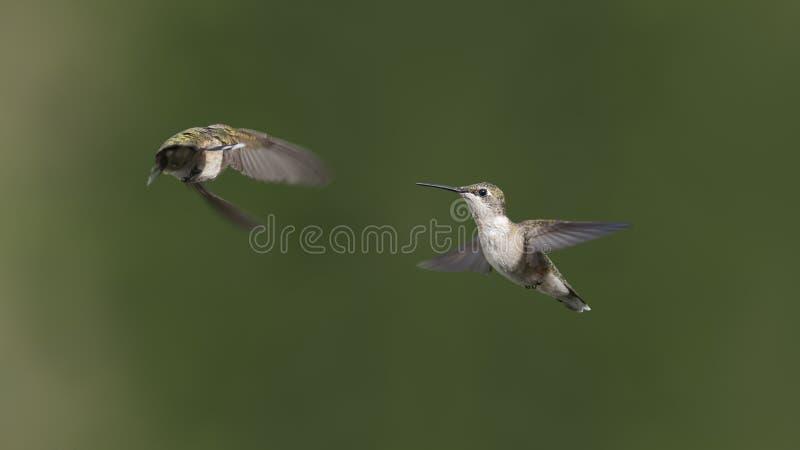 Dois colibris com um tiro fotografia de stock