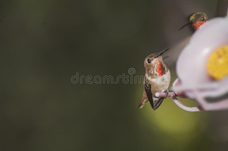Dois colibris pequenos lutam no alimentador do p?ssaro foto de stock
