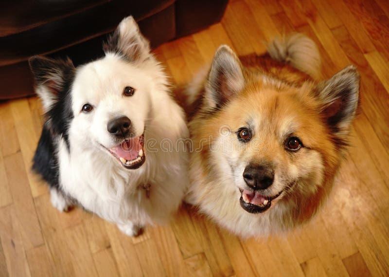 Dois companheiros caninos do cão olham a câmera imagem de stock royalty free