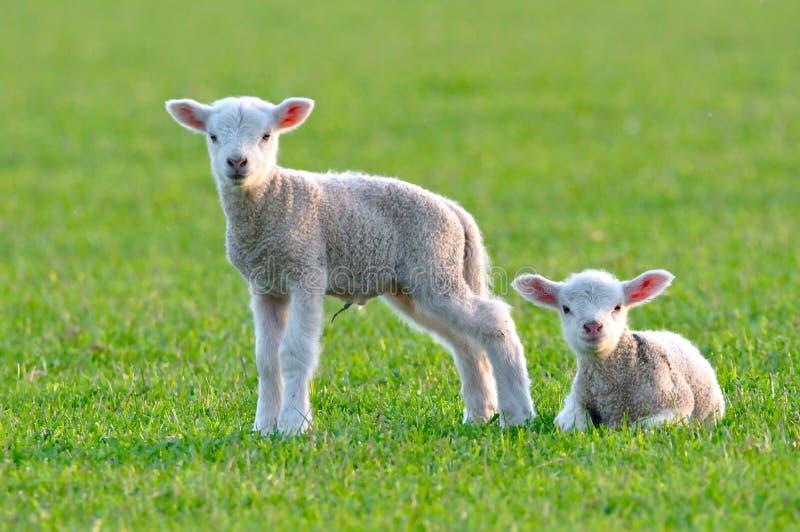 Dois cordeiros do bebê fotografia de stock