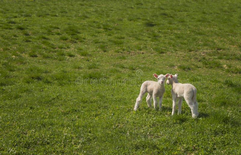 Dois cordeiros do bebê fotografia de stock royalty free