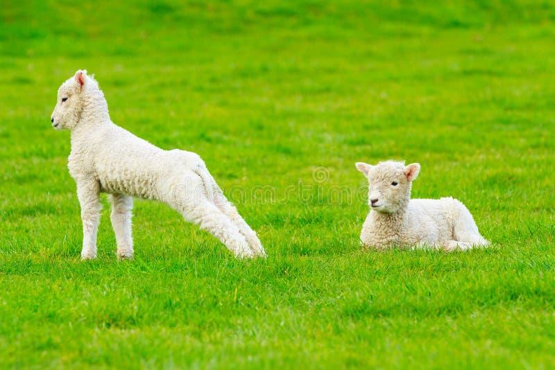 Dois cordeiros em um campo, um que encontra-se, um que estica imagens de stock royalty free