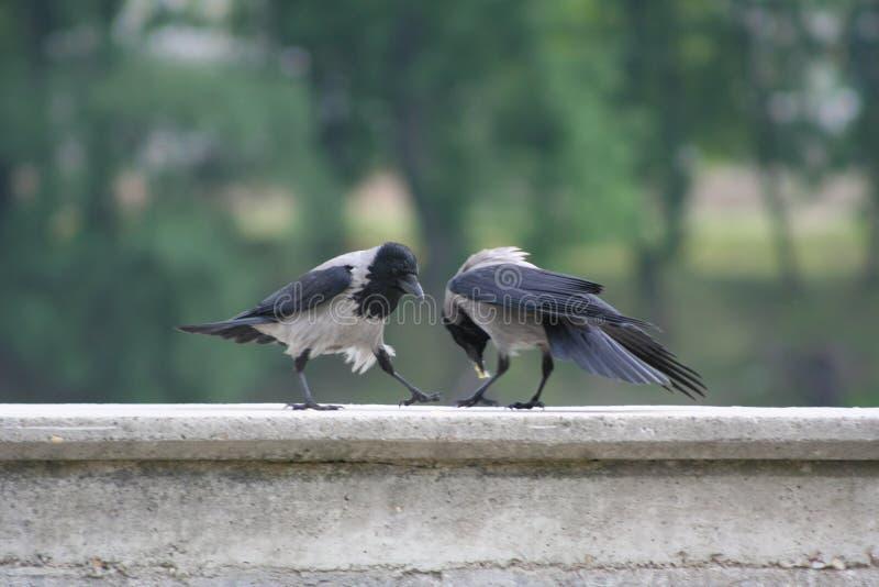Dois corvos no banco do lago Ada Ciganlija em Belgrado fotos de stock royalty free