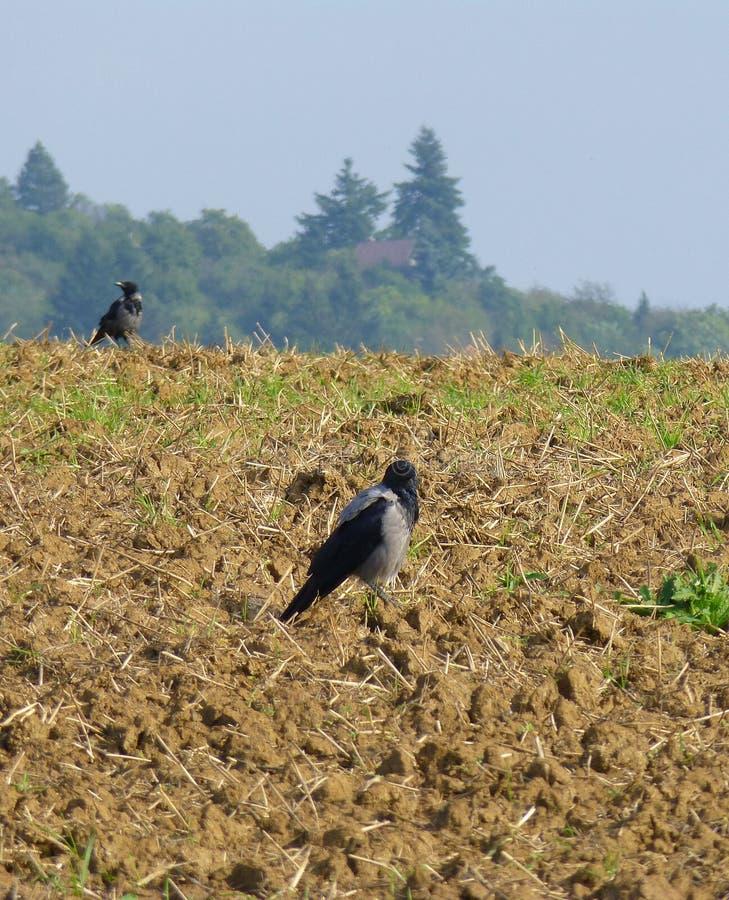 Dois corvos no campo fotografia de stock royalty free