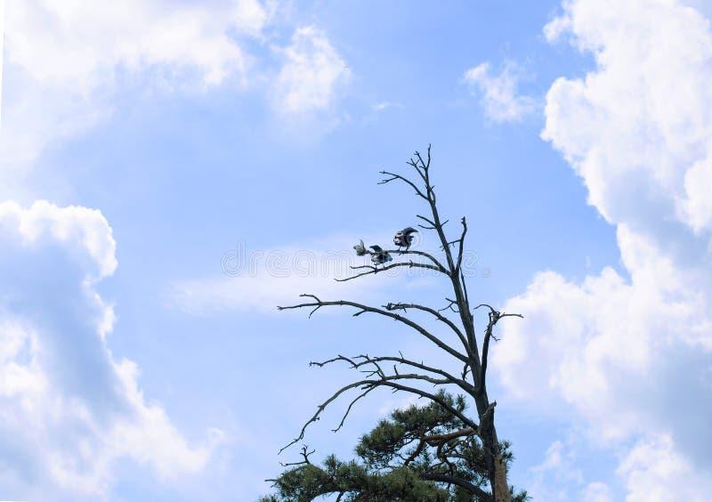 Dois corvos pretos em uma árvore imagem de stock