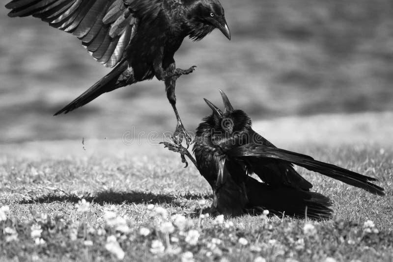 Dois corvos pretos na disputa fotografia de stock