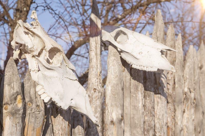 Dois crânios dos animais em uma cerca do rancho imagens de stock