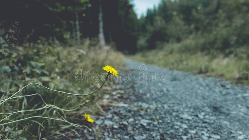 Dois dentes-de-leão no fundo de uma estrada de floresta imagens de stock royalty free