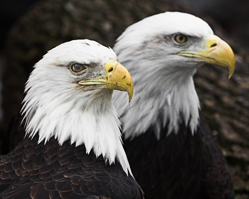 Dois Eagles calvo imagens de stock royalty free