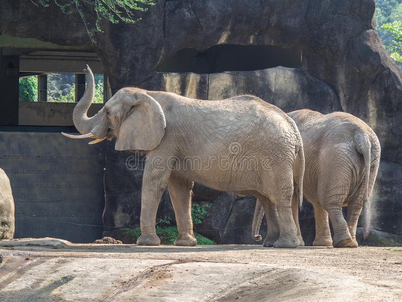 Dois elefantes africanos ( Loxodonta africana) no jardim zoológico de Taipei, Taiwan foto de stock royalty free