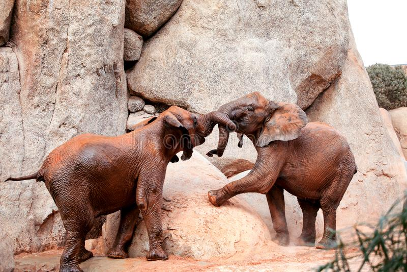 Dois elefantes africanos novos da floresta que jogam no jardim zoológico fotos de stock royalty free