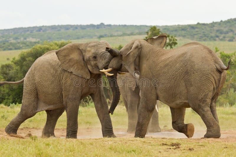 Dois elefantes africanos que jogam em um furo de água imagem de stock